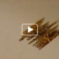Les Diatomées - Bacillaria