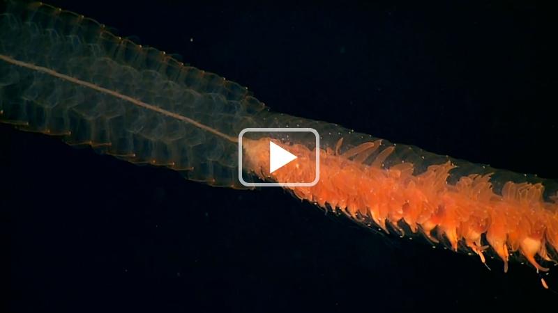 Siphonophores - Les plus longs animaux du monde