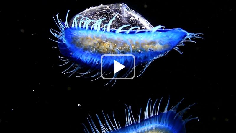 Vélelles - Voiliers planctoniques